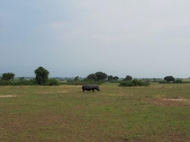 safari, Uganda, Red Chili, Queen Elizabeth National Park, hippo, hippopotamus