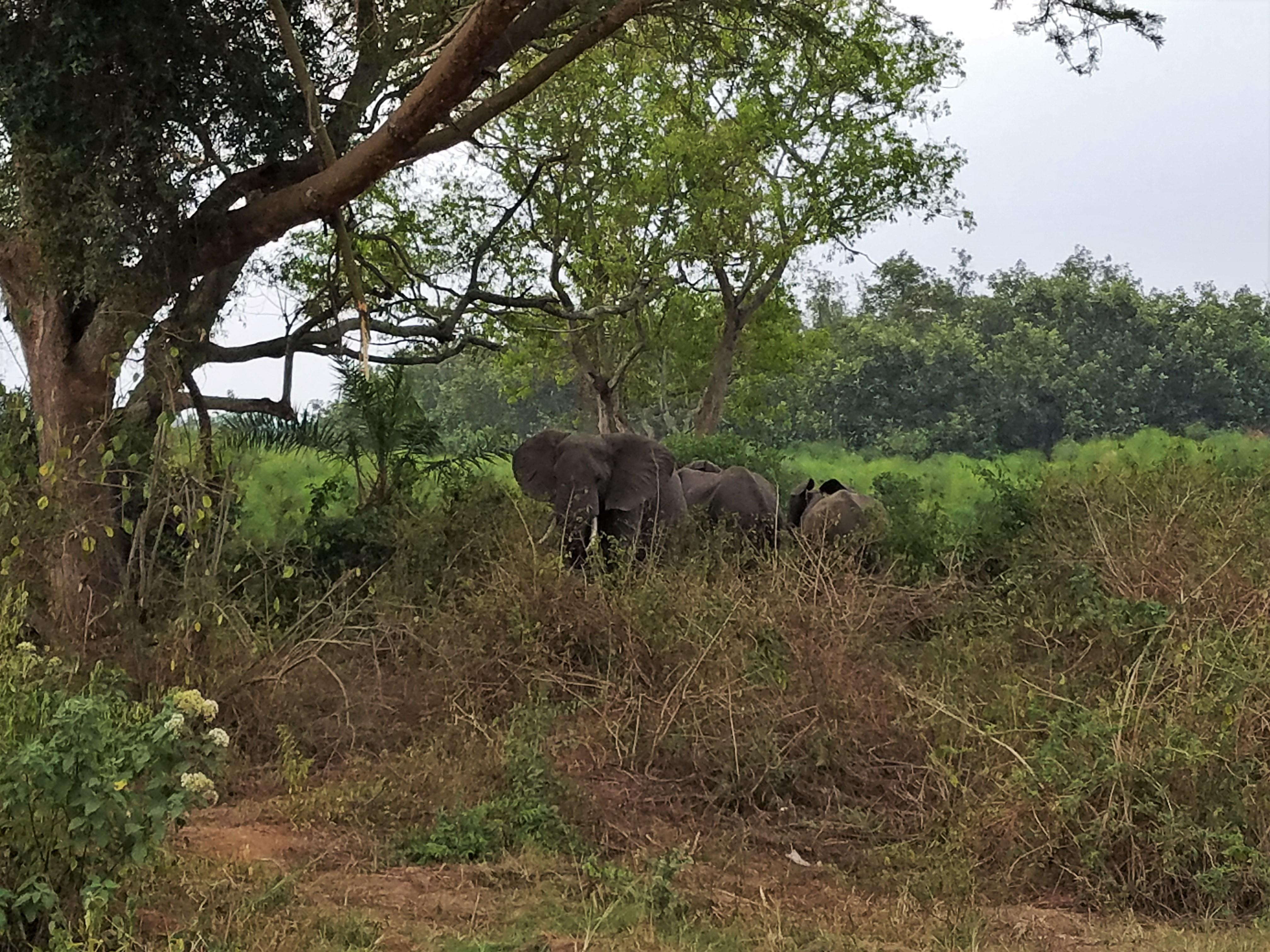 safari, Uganda, Red Chili, elephant, Queen Elizabeth National Park