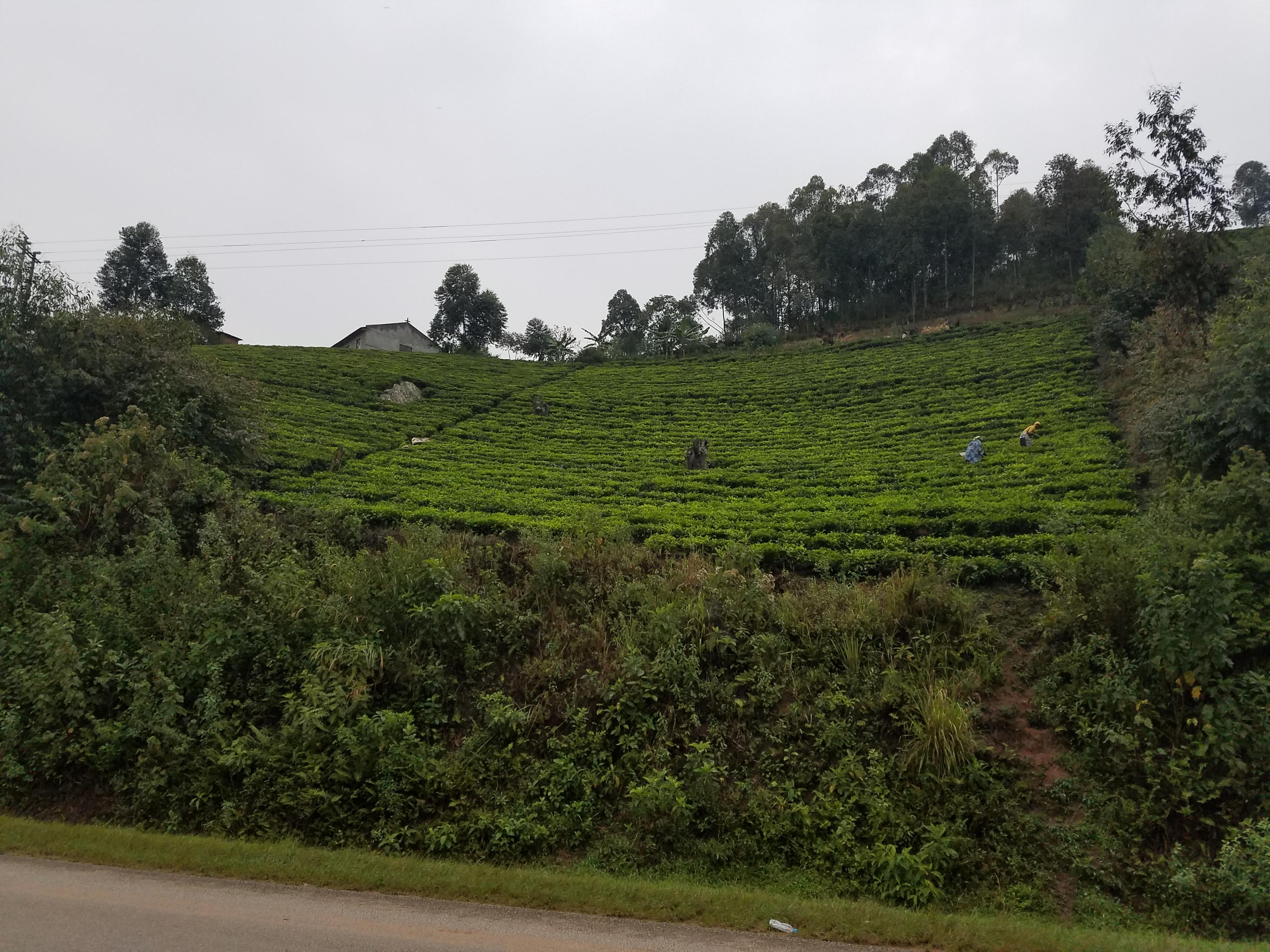 safari, Uganda, Red Chili,  Kalinzu Forrest, eco-tourism, rainforest, tea farming, tea terrace